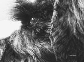 Frankie the black Schnauzer eye in detail
